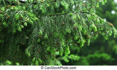 Fir needles - Branches of fir-tree covered with dew drops