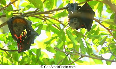 Flying foxes - Two flying foxes Rousettus sleeping, hanging...