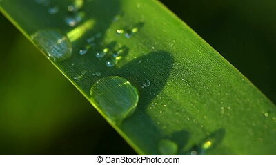 Dew - Drops of dew on the grass leaf. Macro.