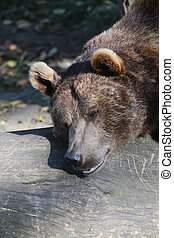 Bown bear - Brown bear
