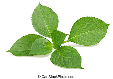 hydrangea sprig - hydrangea leaves isolated on white