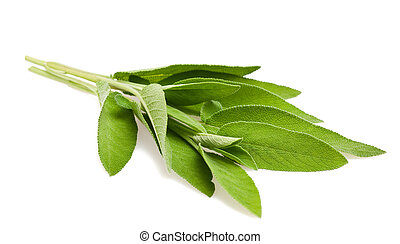 Sage sprig - sage leaves isolated on white