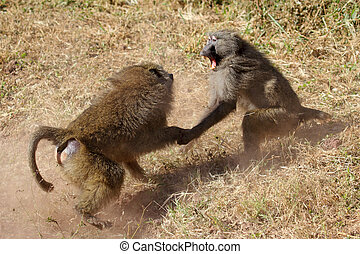 Male olive baboons Papio Anubis fighting - Two male olive...