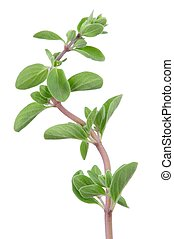 Marjoram Herb on White Background - A branch of fresh green...
