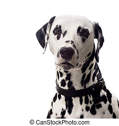 Dalmatian portrait. - Dalmatian dog isolated on white with...
