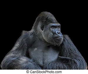 Contemplative Gorilla - Adult gorilla, seemingly in deep...