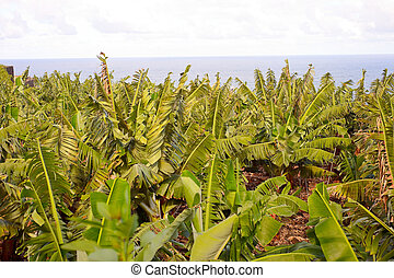 Banana plantation next to the sea, tenerife, spain