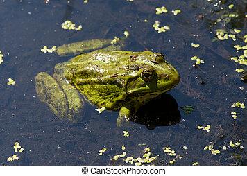Rã, algas, Lagoa