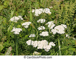 Queen Anne's Lace (Daucus carota) flowers with green...