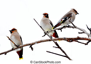 Waxwings flew - Three Waxwing sitting on a tree branch on a...