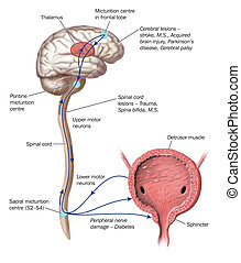 Nerve pathways - Drawing to show the nerve pathways that...