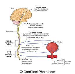 Nerve pathways to the bladder - Drawing to show the nervous...