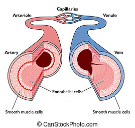 Anatomy of blood vessels from artery through capillaries to...