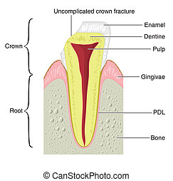 Cross section of a tooth - Drawing to show the main...