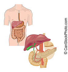Digestive tract - Drawing of the digestive tracts with...