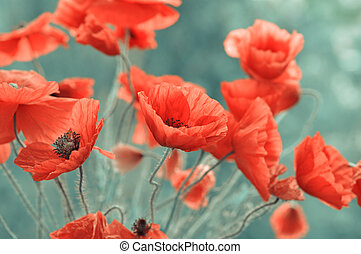 red poppy flowers - Field of bright red poppy flowers in...