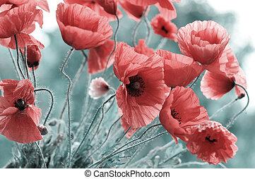 bright red poppy - Field of bright red poppy flowers in...