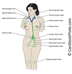 The lymphatic system -- labeled