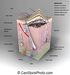 3D Cross section of skin labeled