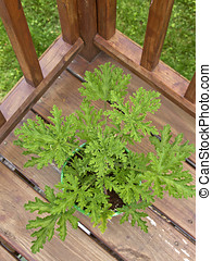 Citronella Plant on a Deck - Looking down on a potted...