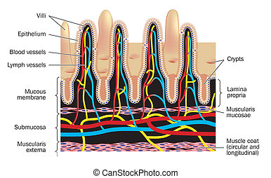 Small intestinal villi - labeled