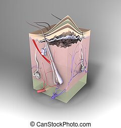 3D skin - 3D Cross section of skin
