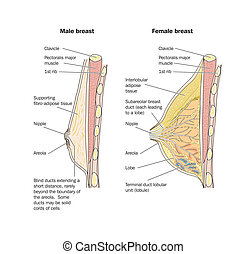 Male and female breast anatomy - labeled