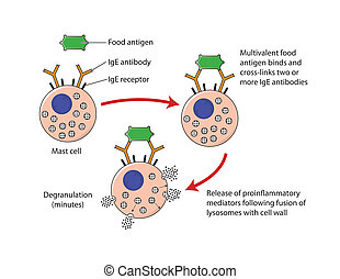 Mechanism of food allergy - labeled