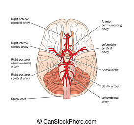 Circle of Willis - labeled