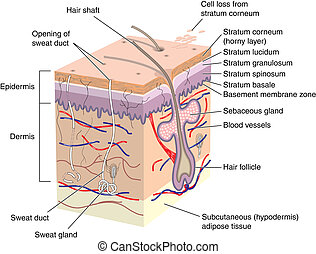 Cross section of human skin