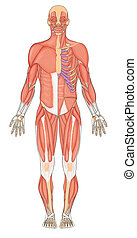 Human muscles anterior - Anterior view human muscular system...