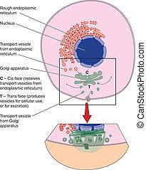 célula, mostrando, Golgi, aparelho