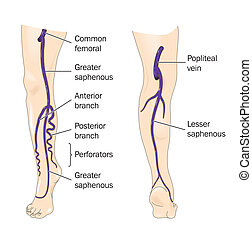 Major veins of the leg - Veins of the leg - labeled