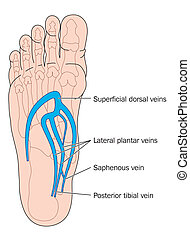 Veins of the foot - Plantar veins of the foot - labeled