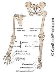 Limb bones - Human limb bones, labeled