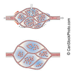 capilar, Cama, lymphoedema