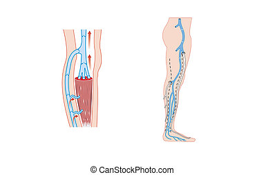 Leg veins - Drawing of the veins of the leg and the calf...
