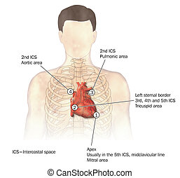 Heart auscultation -- labeled