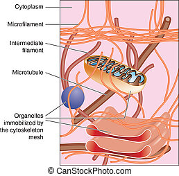 Cytoskeleton - Illustration of cytoskeleton