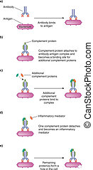 Diagram of Complement Pathway - Illustration of complement...