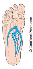 Veins of the foot - Plantar veins of the foot