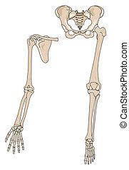 Limb bones - human arm and leg bones