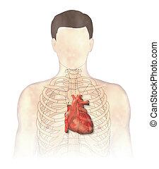 Heart auscultation