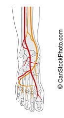 Foot circulation - Blood supply to foot