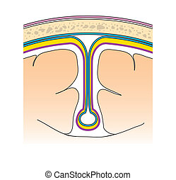 The Meninges - Meninges of the brain