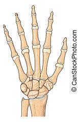 Human hand bones - human hand bones