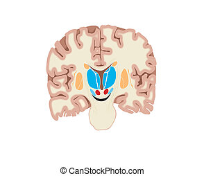 Brain - Drawing of the brain showing the basal ganglia and...
