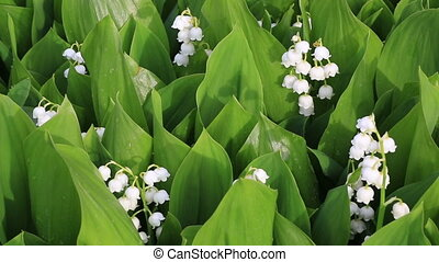 Flowering garden lilies of the valley.