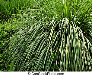 Lemon grass plant - Stock Photo - Lemon grass plant