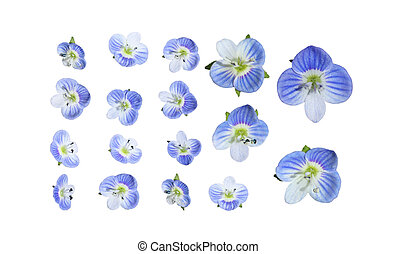 Veronica birdseye Speedwell - Marco of tiny blue veronica...
